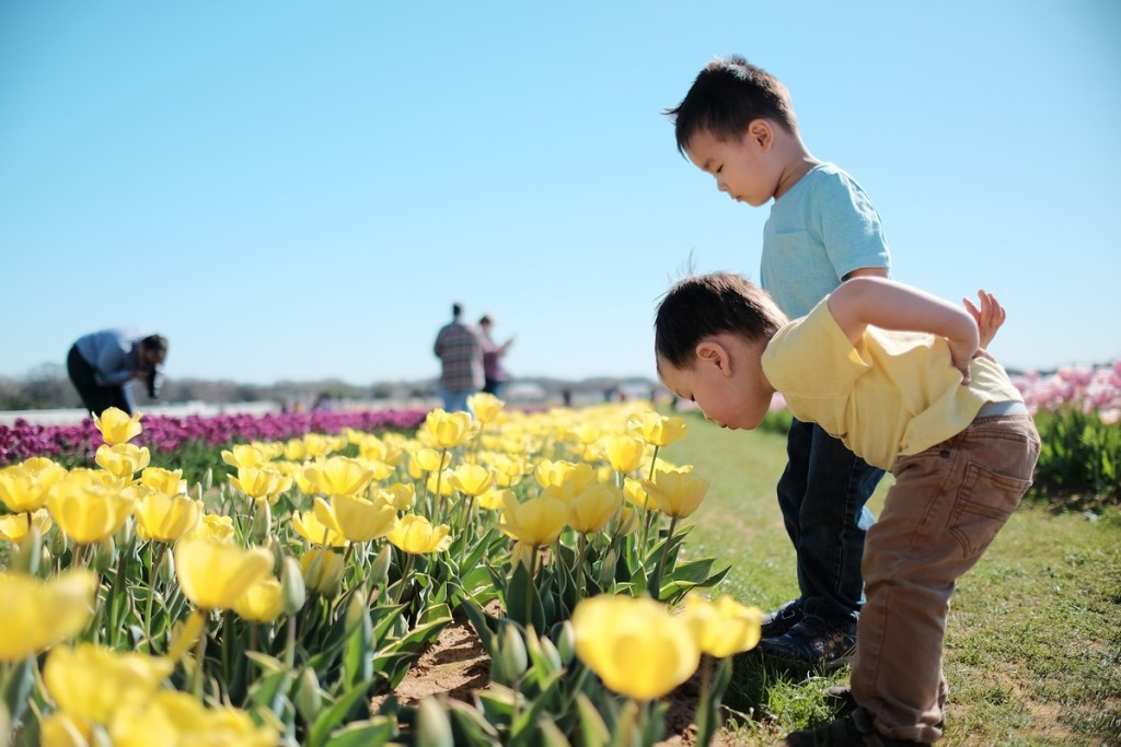 tulipfarm08