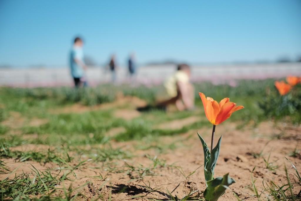 tulipfarm13
